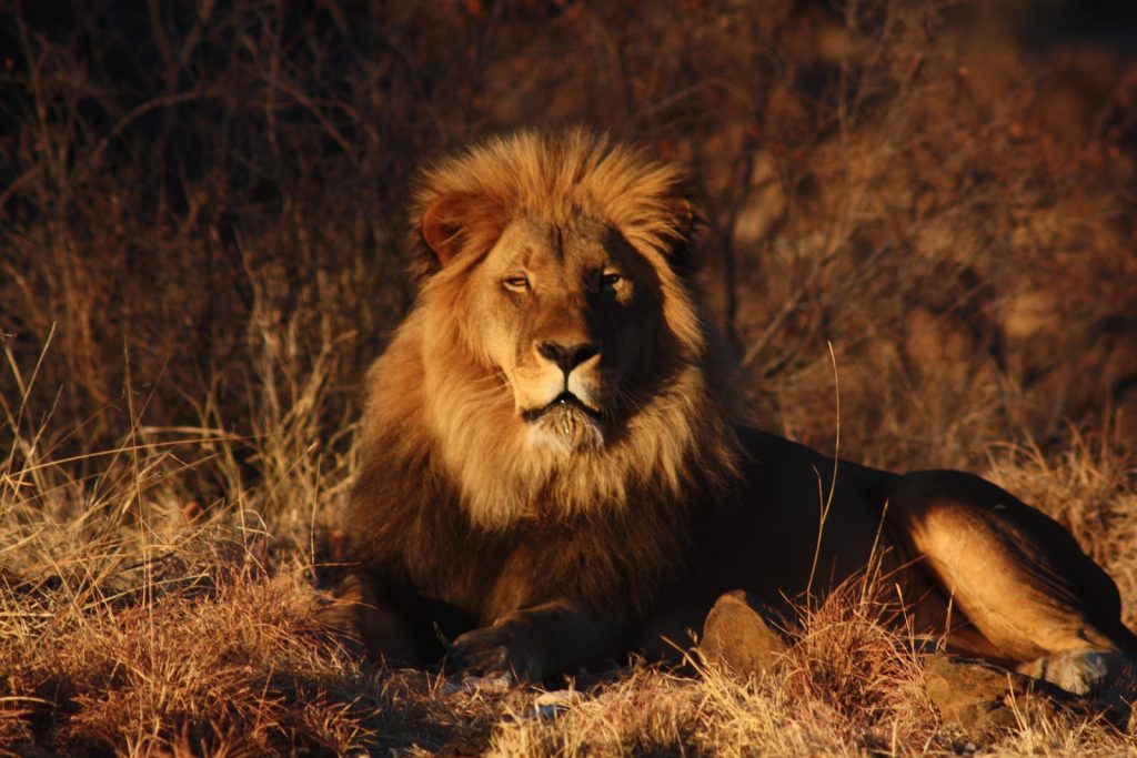 lion-on-the-savannah